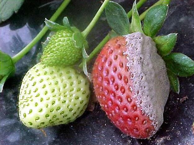 siva plijesan jagoda
