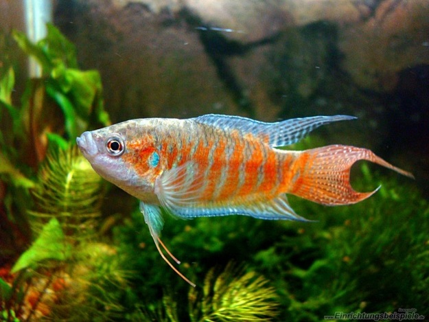 rajska riba