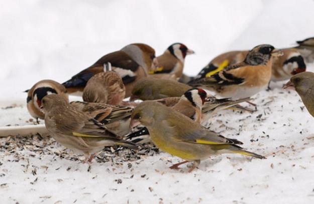 ptice-zimi